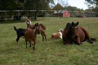 Goats & Fasci at Alabu Farm